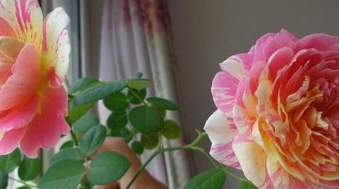 """喜欢玫瑰,不如养盆""""精品月季""""克劳德莫奈,一花多色,真美"""