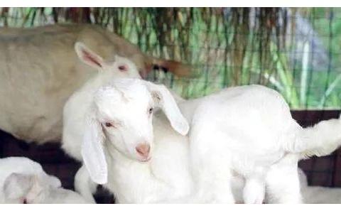 """生肖羊最不宜生什么属相的孩子?小心""""不祥之兆""""缠上你!"""