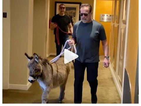 从终结者变成养驴大叔,施瓦辛格饲养天价宠物驴,一只70万