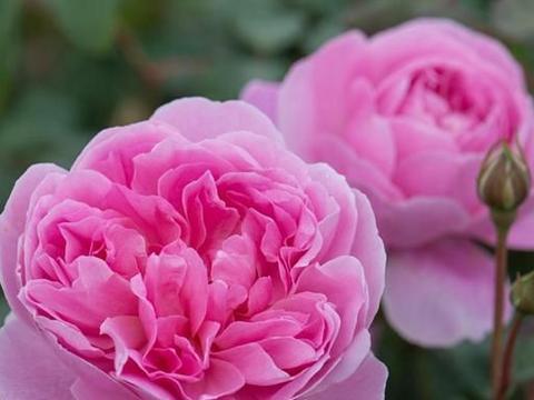 月季女仆马里昂,花朵似牡丹,小型灌木月季,适合盆栽