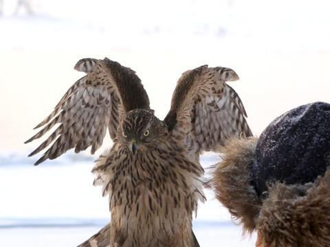 鹰屯传承下满洲养鹰的习俗