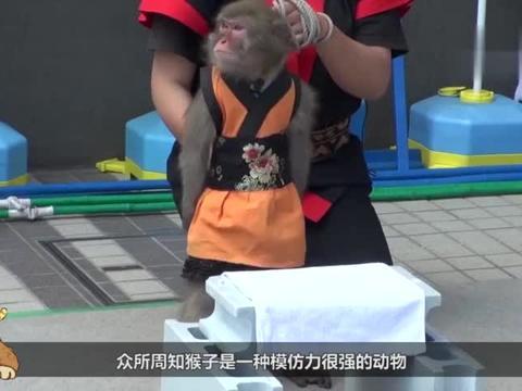 小猴子爬上高台跳水,因胆怯不敢跳,猴妈妈直接来了一脚