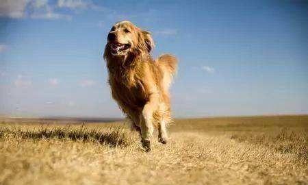 狗狗指甲太长会后肢无力?