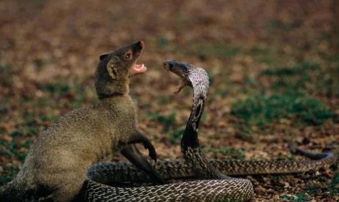 """地球上最敢吃蛇的动物, 也就""""巴掌大"""", 5分钟就征服眼镜王蛇"""