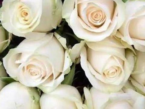 """""""精品玫瑰""""芬德拉,花开如美,无暇纯洁,可以说是盆栽必备!"""