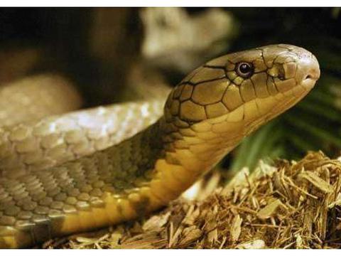 吃蛇本领哪家强? 最后一个蛇见了之后都要绕着走