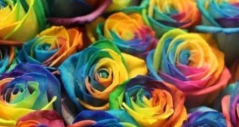 """""""精品玫瑰""""彩虹玫瑰,花开似彩虹,超美艳,可以说是养花首选"""