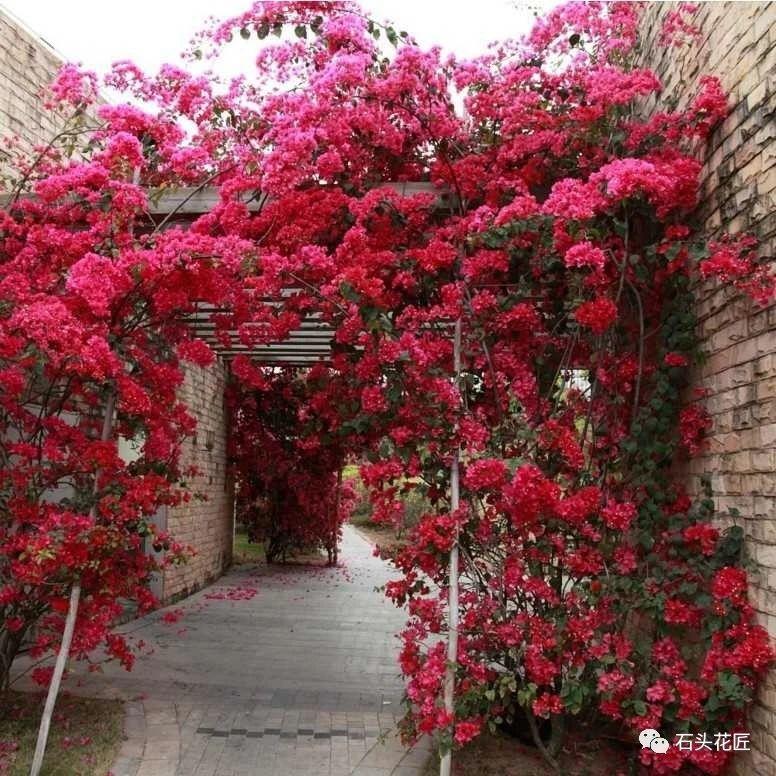 """4种植物适合做""""花型拱门"""",能遮阴、开花多,满园有香气"""