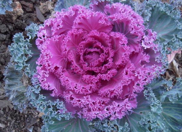 这花远看似白菜,叶子一片片似羽毛,名叫羽衣甘蓝适合家养