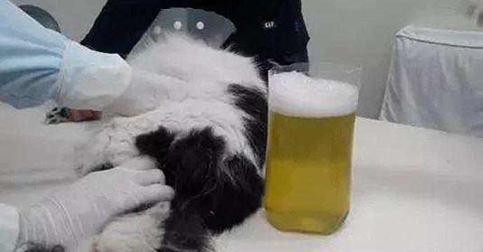 辟谣:猫咪胸腔里有积液,就一定是传腹?铲屎官别一概而论