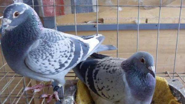 鸽子鸽虎牙鸟动物600_339青蛙集梦小鸟类微博图片