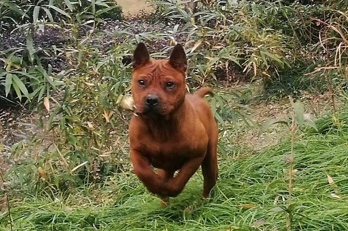 作为中华本土猎犬的箭毛猎犬有着猎犬之王的称号,该犬长相奇特,葫芦