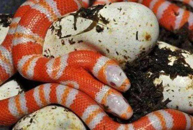 誰有蛇蛋圖網址_大叔在山上找到一堆蛇蛋,孵出來的蛇長有兩個腦袋
