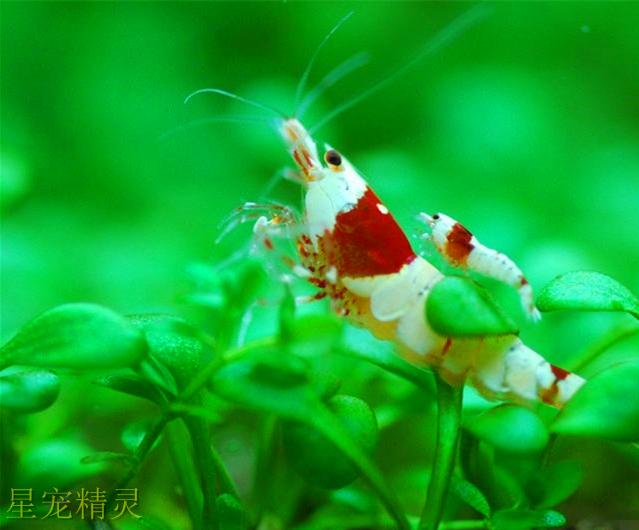 极具观赏性的水晶虾,如何分辨雌雄及水晶虾的繁殖