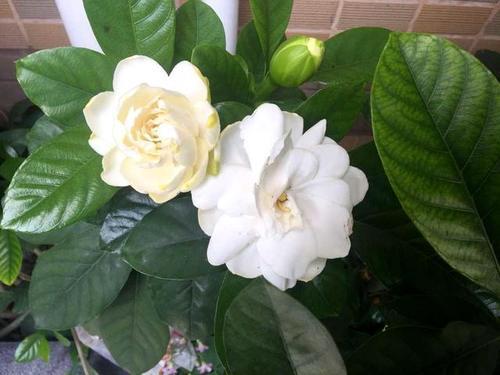 栀子花黄叶还掉苞,咔嚓剪成秃子,3天就冒芽,看它还敢黄叶吗?