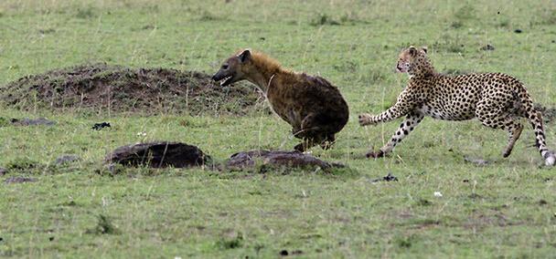 梦见鬣狗是什么预兆