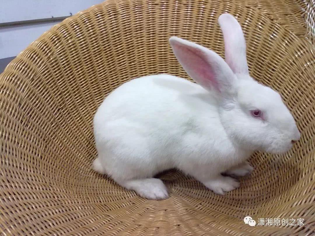 有没有描写小特点外貌,作文,脾气的白兔?金线风与金线莲图片