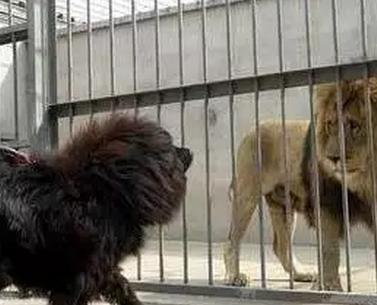 藏獒vs狮子_笼子里的狮子被藏獒挑衅,狮子被放出来后,结果这样了