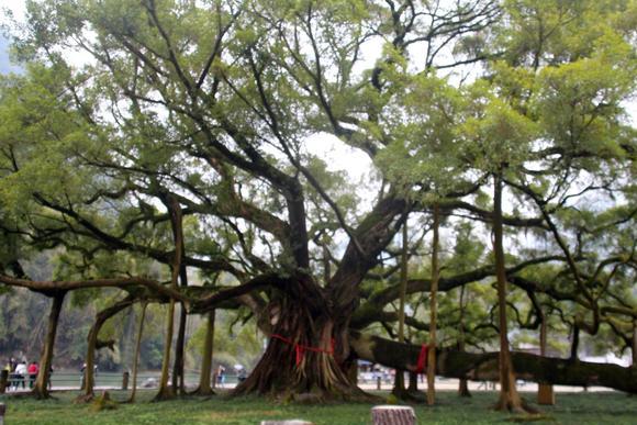 桂林一棵大榕树,晋代所植,至今1500多年,已独木成林