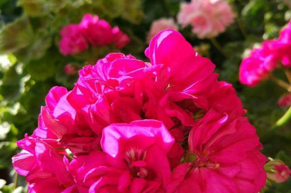"""盆栽花卉,我只养""""这3种"""",放在小阳台,一年365天轮着开,特美"""