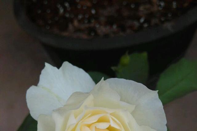 此花,香味浓郁仙气足,养护简单花期长,家里放一盆,满屋花飘香