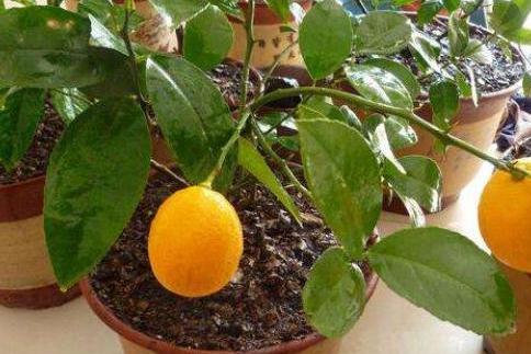"""室内养盆栽柠檬,做好4步,别忘1个""""小动作"""",果子又多又漂亮"""