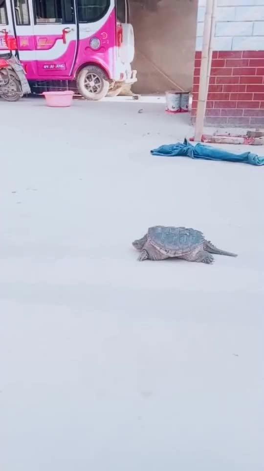 不是说乌龟的速度很慢吗,为什么这只这么快,这只龟太凶悍了