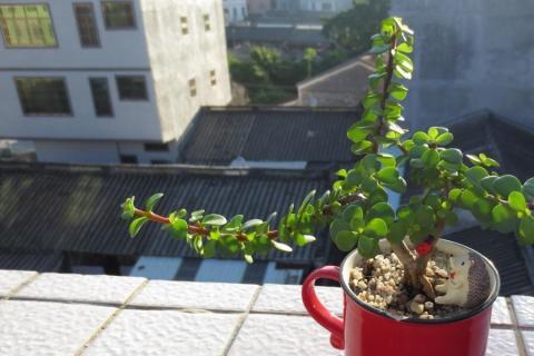 """金枝玉叶盆栽变""""金枝""""才好看,只需3步,茎杆漂亮,叶片翠绿!"""