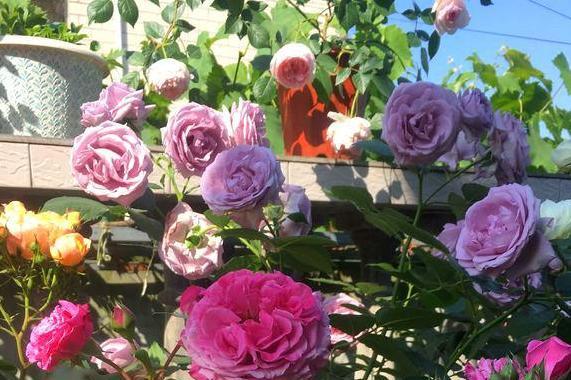 若有一个小院子,养上2种花,与你一起喝茶赏花,共度余生!
