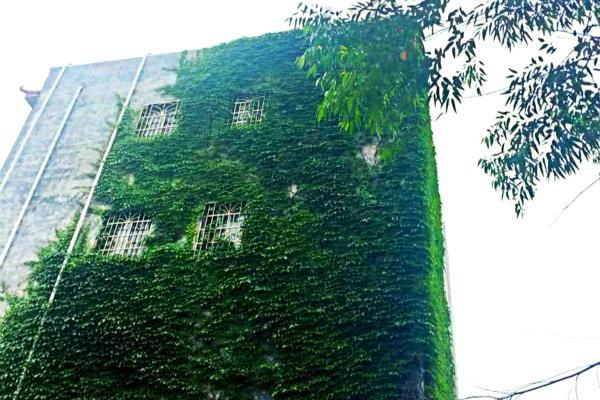 这个小区的爬山虎真是虎,爬满7层楼,路人都说给个阶梯要上天