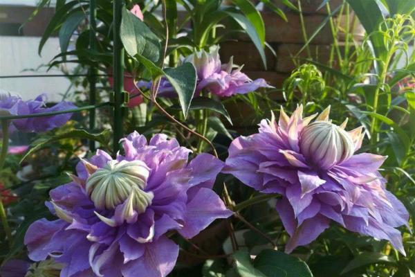 """阳台也能养的""""藤蔓花"""",花朵又大又美,养在栏杆旁仙气十足"""