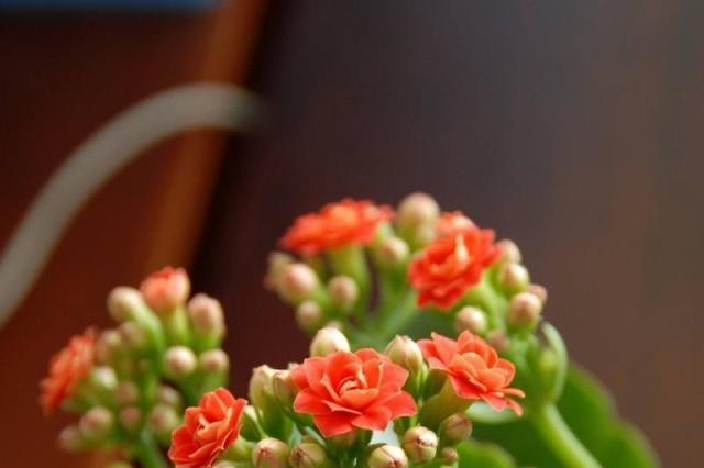 开花的长寿花移到客厅养护,注意这几点一样能花期长生长好!