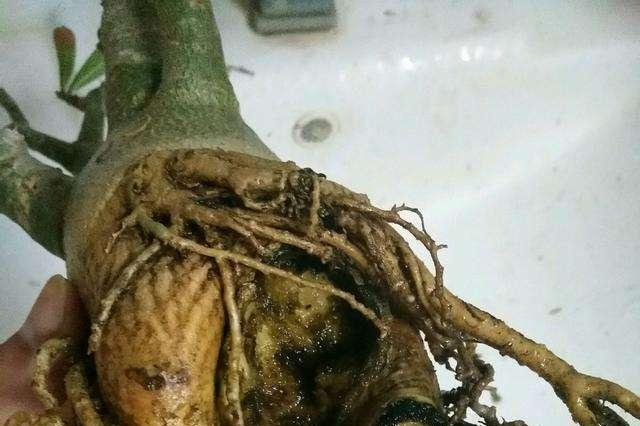 栽种沙漠玫瑰时,部分根系露在外面行不行?
