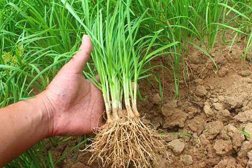 种植小知识:韭菜根什么时候移栽好?如何移栽韭菜根?