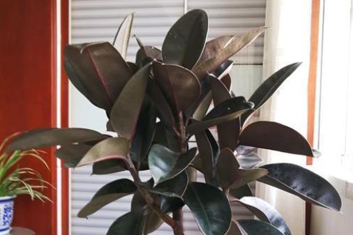 """橡皮树就喜欢""""1种肥"""",在家就能做,叶片肥厚油亮,枝干猛蹿"""