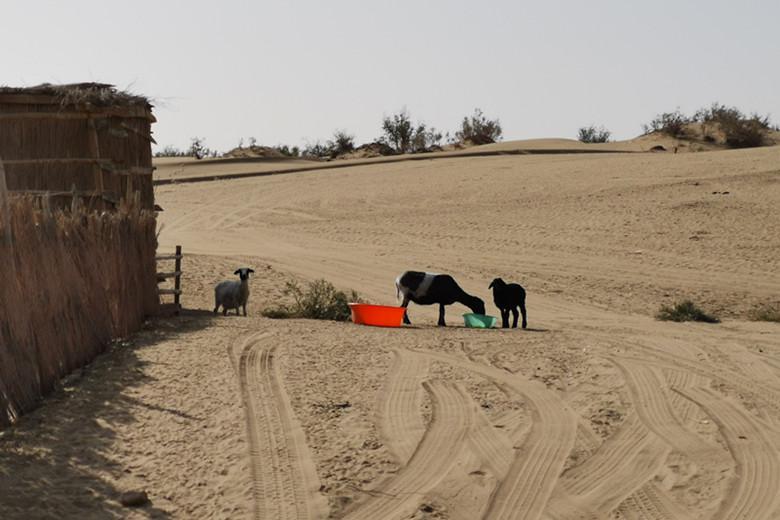 新疆野骆驼保护协会走进达里雅布依追寻野骆驼的踪迹