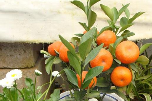 想让盆栽蜜橘结果多,就别忘了加底肥