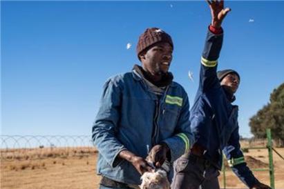 南非狮子狩猎场:108头圈养狮子遭虐待,被人围捕时还用电棒驱赶
