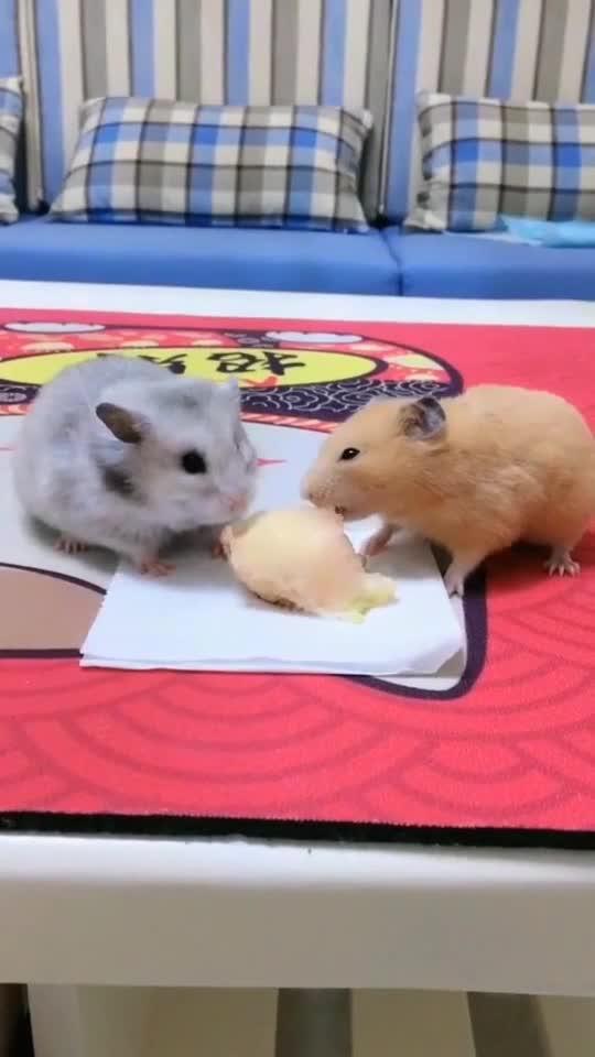两只仓鼠一起吃桃子,小白鼠不愧是见过大世面的老鼠!