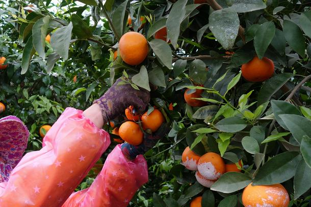 桂林收购价1.8元,广西多地改种,沃柑会成为第二个砂糖橘吗?