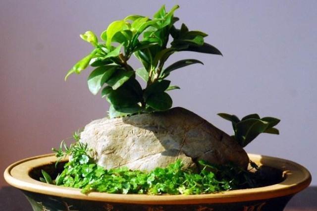 盆景能否单独施氮肥?可以,但不能过量!