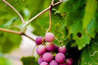吐鲁番的葡萄熟了!吃货可劲造,葡萄随便摘,美人不能碰!