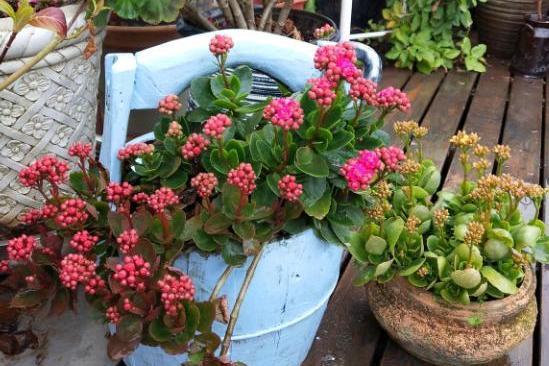养花常用的磷酸二氢钾,可以给多肉植物使用吗?好多花友都用错了