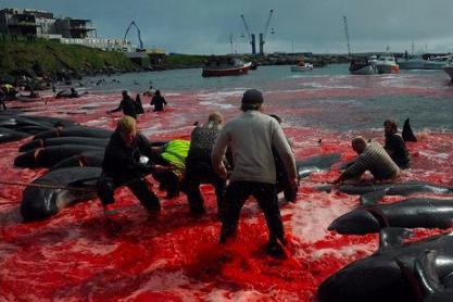 大海流下红泪!法罗群岛人捕鲸,场面太残忍,网友:该停手了