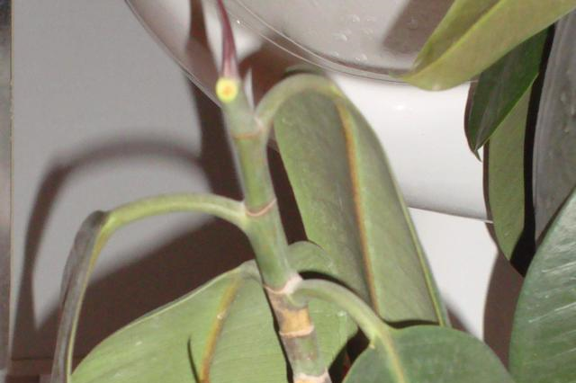 橡皮树叶子下垂别大意,可能是死亡的征兆!