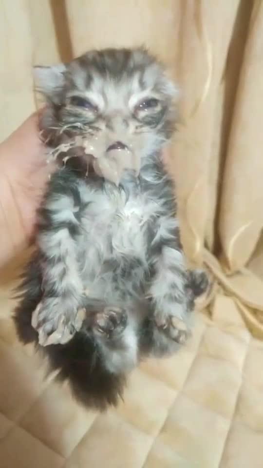 快笑死我了,偷吃猫妈妈的鲫鱼汤,哈哈哈!