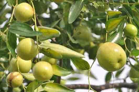 果树大枣专用膨大素用哪个?大枣保花保果防裂用啥?用啥肥料?