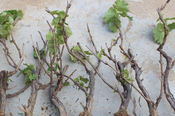 葡萄树苗什么时候移栽好?四年的葡萄苗能移栽活吗?