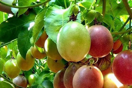 """西番莲被称为""""百果之王"""",但营养学家说:这两种人应该少吃"""