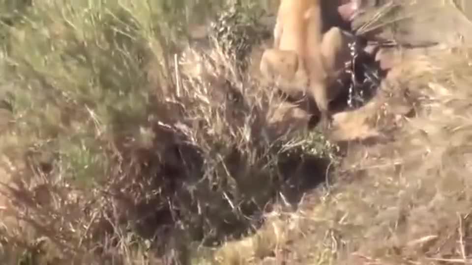 狮子与鳄鱼争夺食物,水里打到陆地